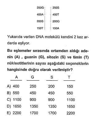 11.sinif-biyoloji-dnanin-yapisi-ve-replikasyon-testleri-7.