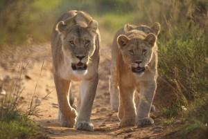 mother-and-cubs-at-shamwari