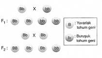 8-sinif-fen-bilimleri-kalitim-test-4