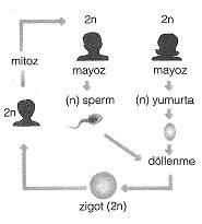 8-sinif-fen-bilimleri-hucre-bolunmesi-ve-kalitim-cozumlu-9-optimized