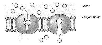 9-sinif-biyoloji-testleri-72.